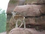 Mouflon_calf